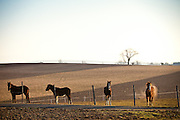 Horses on an Amish farm in Bird in Hand, PA.