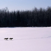 Gray Wolf, (Canis lupus) Pair running across field. Winter. Midwest. Captive Animal.