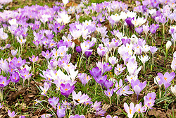© Licensed to London News Pictures. 24/02/2021. Market Bosworth, UK. Crocus Pollen. The green areas around Market Bosworth are covered in crocus. Photo credit: Dave Warren / LNP