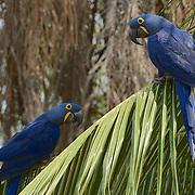 Hyacinth Macaw (Anodorhynchus hyacinthinus) Endangered Species. In palm tree. Pantanal. Brazil.