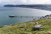 Mountain goats graze the mountain-side grass of the Great Orme that overlooks Llandudno and its seaside pier, on 4th October 2021, in Llandudno, Gwynedd, Wales.