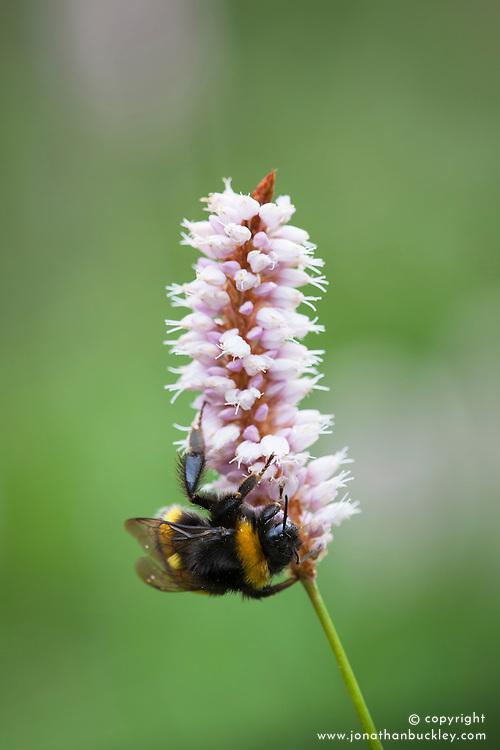 Bee on Common Bistort, Meadow bistort. Persicaria bistorta