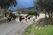 Herd of goats on road,  near Benimaurell, Vall de Laguar, Marina Alta, Alicante province, Spain