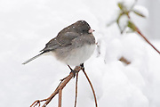The junco had its fleathers fluffed to give it more insolation fromt he cold and the snow rested on its back withou melting.  The bird didn't seem to mind the snow and peacefully sat for several minutes.