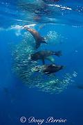 California sea lions, Zalophus californianus, feeding on baitball of sardines or pilchards, Sardinops sagax, off Baja California, Mexico ( Eastern Pacific Ocean )
