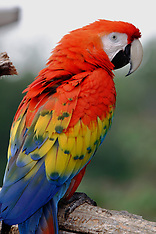 Psittaciformes (Parrots)