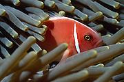 Pink anemonefish (Amphiprion perideraion) - The clownfish, or anemonefish, are the subfamily Amphiprioninae of the family Pomacentridae. Clownfish and damselfish are the only species of fish which can avoid the potent stings of an anemone.   Anemonenfisch (Amphiprion perideraion) - Die Anemonenfische (Amphiprion) sind eine Gattung der Riffbarsche (Pomacentridae), die in enger Symbiose mit Seeanemonen leben. Dabei leben die einzelnen Arten nur mit bestimmten Arten von Symbioseanemonen zusammen. Die Symbioseanemonen bieten den Anemonenfischen, die alle schlechte Schwimmer sind, Schutz vor Raubfischen. Auch die Anemonenfische schützen ihre Symbiosepartner vor Fressfeinden, z.B. Falterfische.   
