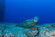 male Hawaiian monk seal, Neomonachus schauinslandi ( critically endangered endemic species ) with bannerfish or pennant butterflyfish in background, resting on ledge of underwater pinnacle at Vertical Awareness dive site, Lehua Rock, near Niihau, off Kauai, Hawaii ( Pacific Ocean )