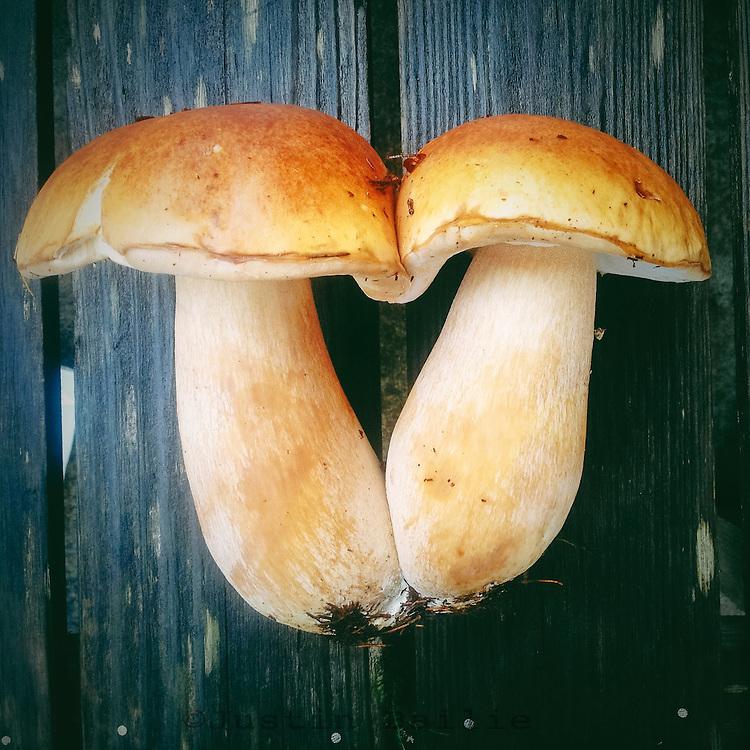 Portrait of wild Bolete mushrooms found in the forest along the Oregon Coast.