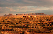 ARIZONA, FOUR CORNERS AREA wild horses grazing on open range with mesas in the background