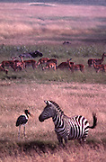 African wildlife, Zebra, saddle-billed stork and gazelles in grass and swamp of Maasai Mara, Kenya, appear to be talking