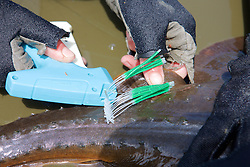 Attaching Tag To Thornback Ray