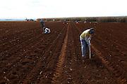 Sao Gotardo_MG, 19 de maio de 2015<br /> <br /> Fotos dos produtores de alho na regiao de sao gotardo.<br /> <br /> Foto: MARCUS DESIMONI / NITRO