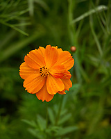 Orange Cosmos flower in my backyard wildflower meadow. Summer nature in New Jersey. Image taken with a Leica T camera and 55-135 mm zoom lens (ISO 100, 135 mm, f/5.6, 1/250 sec).
