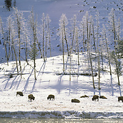 Bison (Bison bison) near Old Faithful at the Madison River during the winter in Yellowstone National Park.