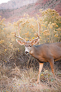 Deer in Zion National Park, on the Pa'rus Trail, Utah, United States of America
