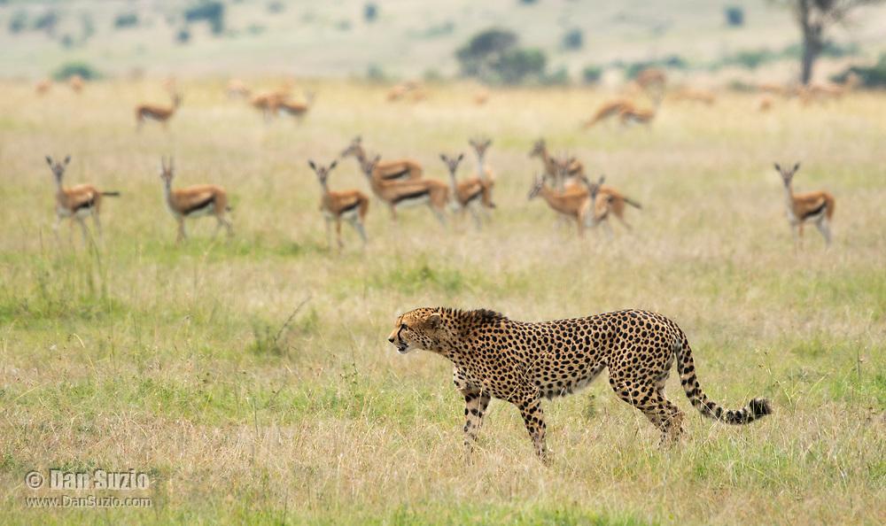 A Cheetah, Acinonyx jubatus jubatus, walks past a wary herd of Thomson's Gazelles, Eudorcas thomsonii, in Maasai Mara National Reserve, Kenya