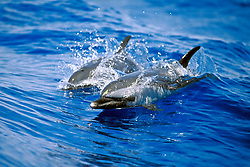 pantropical spotted dolphins, mother and calf, wake-riding, Stenella attenuata, off Kona Coast, Big Island, Hawaii, Pacific Ocean