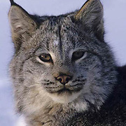 Canada Lynx, (Lynx canadensis) Montana. Portrait. Winter. Captive Animal.