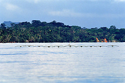 Brown Pelicans On The Rio Dulce
