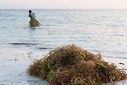 Women collect and cultivate seaweed in the shallow water at low tide at Matemwe on 12th December 2008 in Zanzibar, Tanzania. Each woman has a little submerged field of seaweed which is held down in rows. Once collected they dry the seaweed which is then sold ofr export, usually to be used as as a food thickener or stabiliser. Zanzibar is a small island just off the coast of the Tanzanian mainland in the Indian Ocean. In part due to its name, Zanzibar is a travel destination of mystical reputation, known for its incredible sealife on its many reefs, the powder white coral sand beaches and the traditional cultivation of spices.