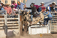 Junior bull riding at Rodeo at North American Indian Days in Browning, Montana, USA
