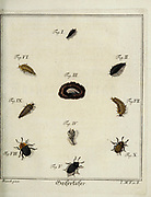 Beetles and fleas 18th century Entomology study from D. Jacob Christian Schaffers Abhandlungen von Insecten (Treatises on insects) published in 1764 by Schäffer, Jacob Christian, 1718-1790 Second addition Printed in Germany in 1797