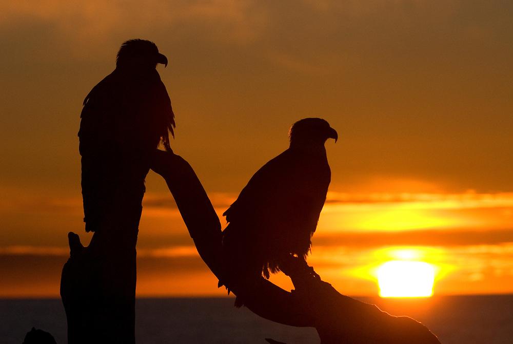 Mature pair Bald Eagle, Haliaeetus leucocephalus, Homer, sunset.