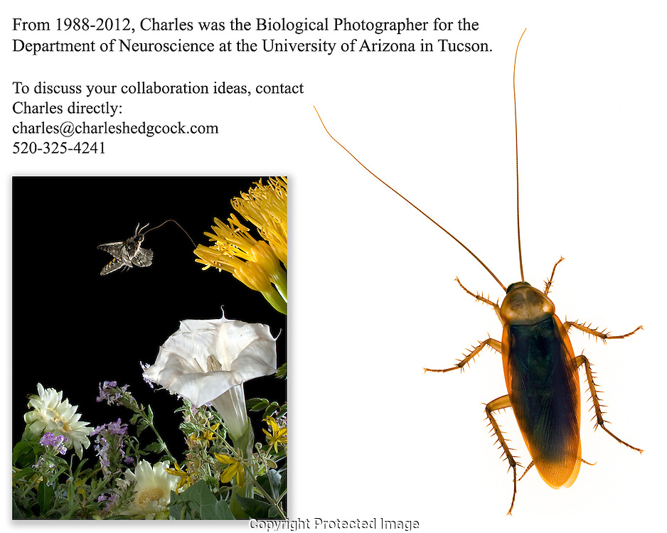 From 1988 to 2012, Charles Hedgcock was the Biological Photographer for the Department of Neuroscience at The University of Arizona in Tucson Arizona.