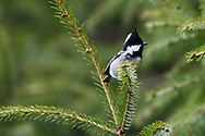 Taiwan Coal tit, Periparus ater, Endemic subspecies. Alishan National Scenic Area, Taiwan