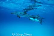 Atlantic spotted dolphin, Stenella frontalis, nursing calf, Bahamas ( Western Atlantic Ocean )