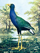 "The purple gallinule (Porphyrio martinicus [Here as Ionornis martinica]) is a swamphen in the genus Porphyrio. It is in the order Gruiformes, meaning ""crane-like"", an order which also contains cranes, rails, and crakes. The purple gallinule is a rail species, placing it into the family Rallidae. It is also known locally as the yellow-legged gallinule. From Birds : illustrated by color photography : a monthly serial. Knowledge of Bird-life Vol 1 No 4 April 1897"