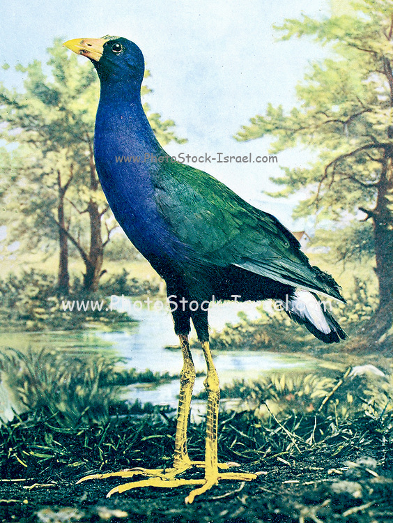 """The purple gallinule (Porphyrio martinicus [Here as Ionornis martinica]) is a swamphen in the genus Porphyrio. It is in the order Gruiformes, meaning """"crane-like"""", an order which also contains cranes, rails, and crakes. The purple gallinule is a rail species, placing it into the family Rallidae. It is also known locally as the yellow-legged gallinule. From Birds : illustrated by color photography : a monthly serial. Knowledge of Bird-life Vol 1 No 4 April 1897"""