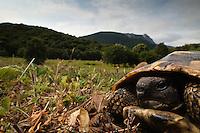 Hermann's Tortoise (Testudo hermanni) in its habitat, National Park Djerdab, Serbia