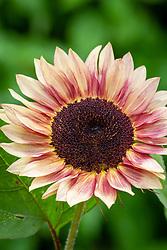 Helianthus 'Ruby Eclipse'. Helianthus annuus - Sunflower