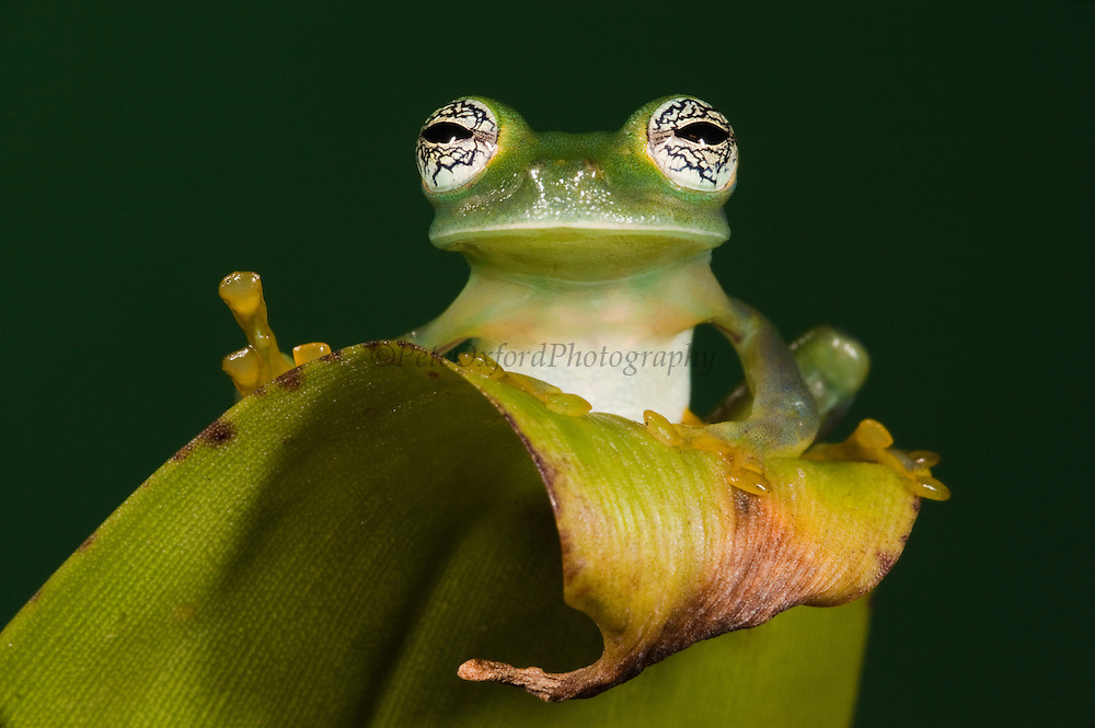 Glass Frog (Espadarana callistomma) Family Centrolenidae. CAPTIVE<br /> Chocó Region of NW ECUADOR. South America