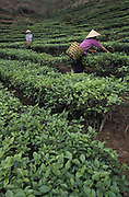 Harvesting on a tea plantation in the Red River Valley