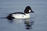 Common Goldeneye - Bucephala clangula - Adult male
