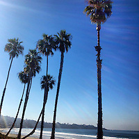 USA, California, La Jolla. Palm Trees at Scripp's in La Jolla.