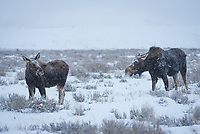 A moose cow and calf share a look while grazing on a snowy morning in Grand Teton National Park.