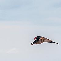A Turkey Vulture (Cathartes aura) flies along the Pacific Ocean coast near Moss Beach, California.