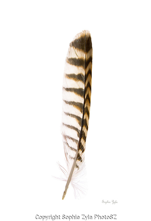 Hybrid Red-tailed Hawk X Red-shouldered Hawk, Wing Feather