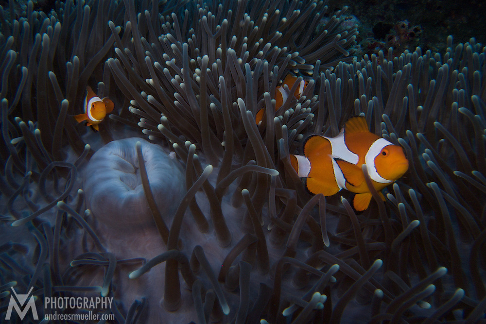 Family of clown fish in their anemone.