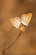 Mating butterflies. Two Lesser Fiery Copper (Lycaena thersamon) Butterflies mating. Shot in Israel, Summer September