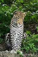 Leopard pauses and sits comfortably on ledge, looking downward, Chobe National Park, Botswana, © David A. Ponton