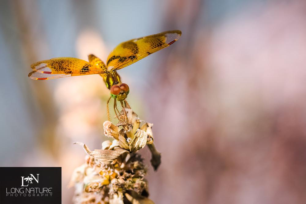 Eastern Amberwing (Perithemis tenera), female.  Photographed at Pear Park, Lake County Florida USA
