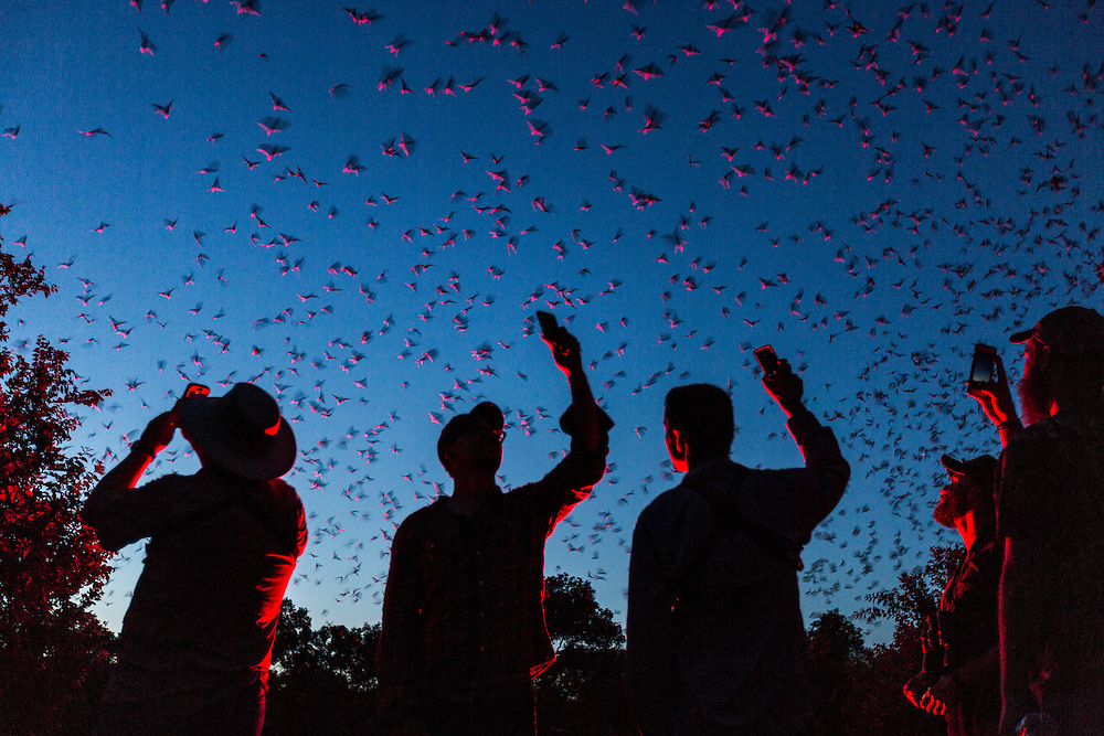 Each night at sunset, 20 million Mexican free-tailed bats take to the skies at Bracken Cave. Here, visitors take pictures of the bat emergence with their phones. Bat Conservation International hosts nightly viewings of the emergence during the summer months when the Mexican Free-Tailed bats come to have their babies in the cave.