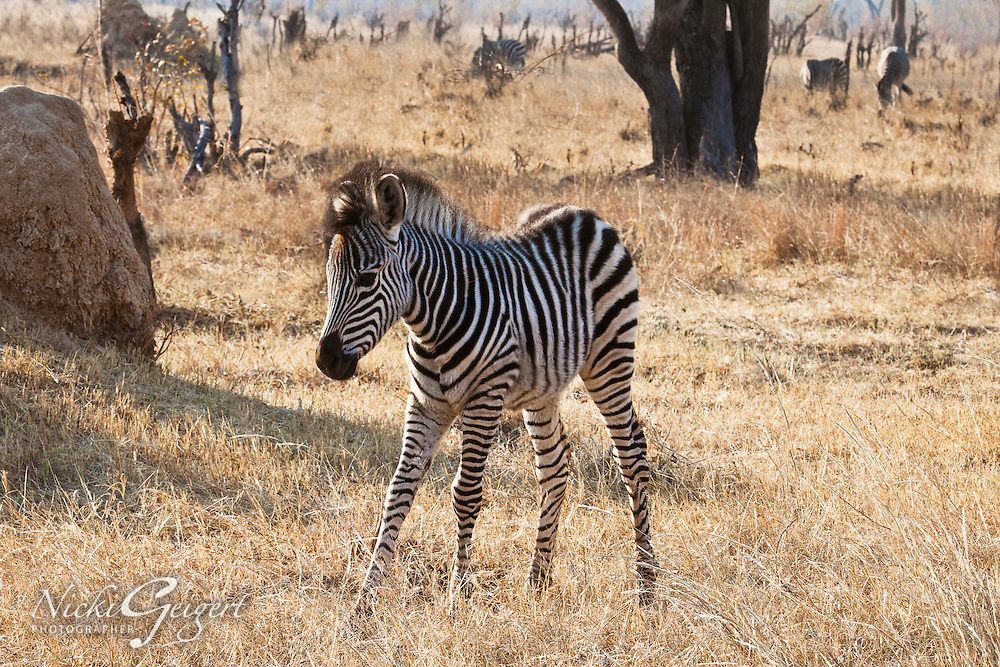 Baby zebra on the African savanna. Nature photography wall art and stock images. Fine art photography prints.