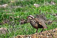 The Chukar Partridge (Alectoris chukar) is a gamebird in the pheasant family found on the Attica coast of Greece