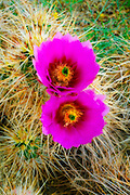 Englemann Hedgehog cactus (Echinocereus engelmannii) in bloom, Anza-Borrego Desert State Park, California USA